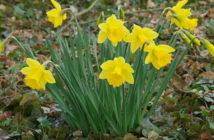 Narcissus pseudonarcissus (Wild Daffodil)