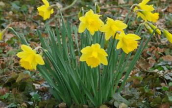 Narcissus pseudonarcissus - Wild Daffodil