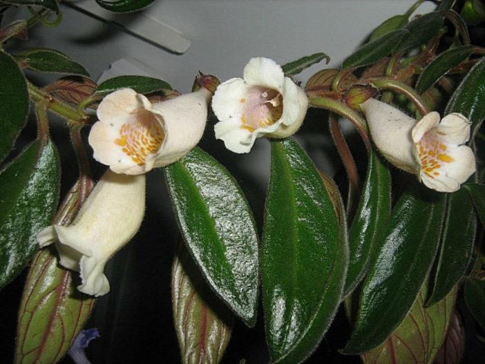 Nematanthus albus