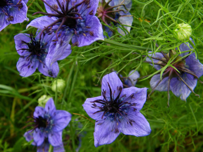 Nigella hispanica - Spanish Love-in-a-mist