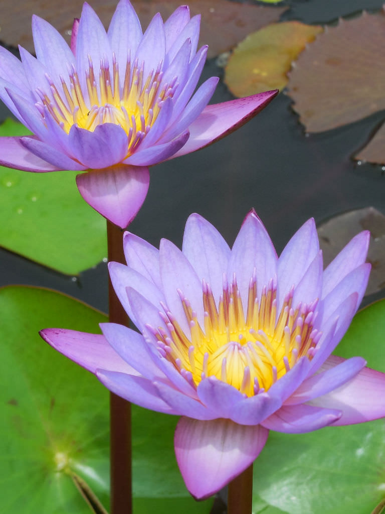 Nymphaea nouchali blue lotus world of flowering plants nymphaea nouchali blue lotus izmirmasajfo