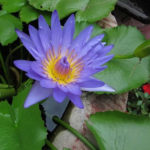 Nymphaea nouchali - Blue Lotus