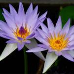 Nymphaea nouchali var. caerulea - Blue Egyptian Lotus