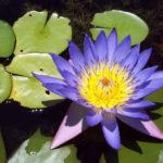 Nymphaea nouchali var. caerulea (Blue Egyptian Lotus)
