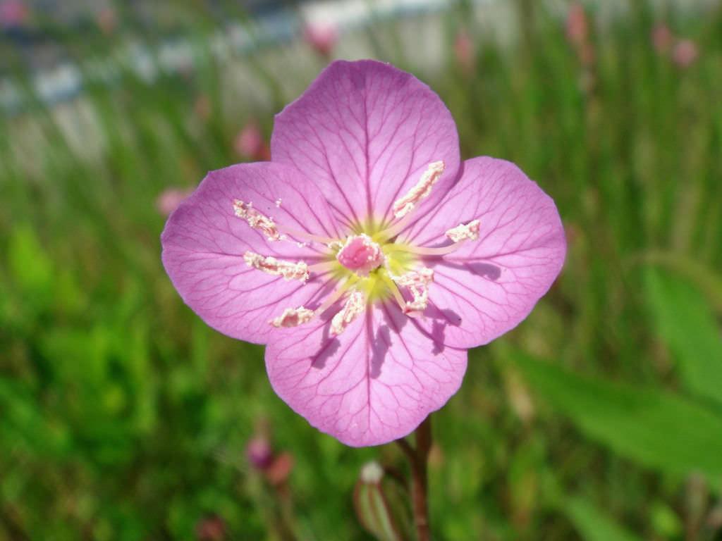 Выращивание энотера розовая 40
