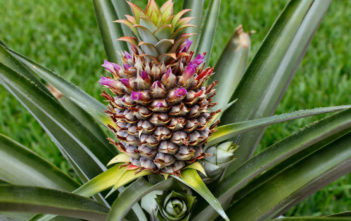 Pineapple Care