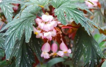 Begonia aconitifolia - Cane Begonia