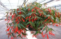 Begonia boliviensis 'Bonfire'