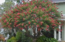 Coral Trees (Erythrina crista-galli)