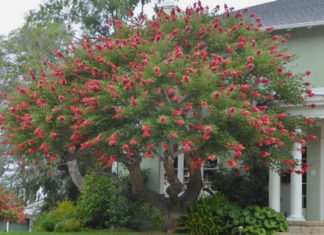 Coral Trees (Erythrina crista-galli)