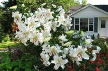 Lilium 'Casa Blanca' - Oriental Lily
