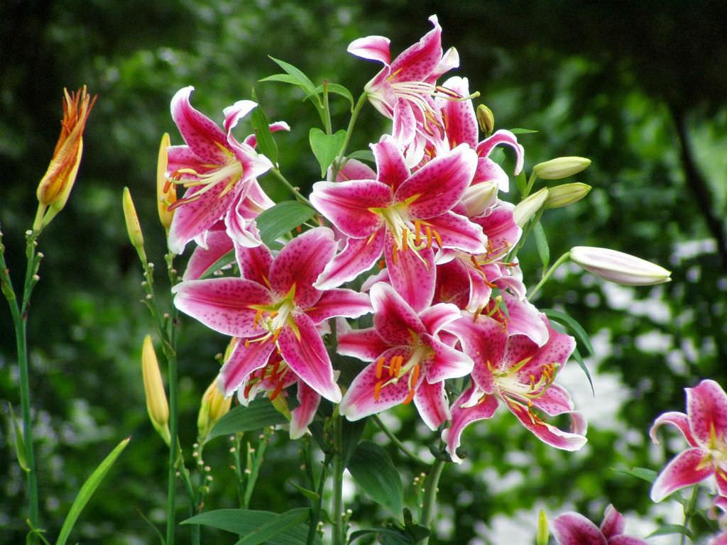 Lilium Star Gazer Star Gazer Lily World Of Flowering Plants