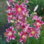 Lilium 'Star Gazer' - Star Gazer Lily
