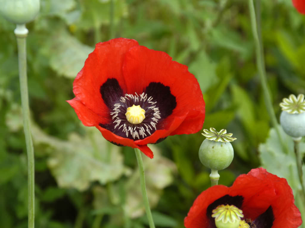 Papaver Somniferum Opium Poppy World Of Flowering Plants