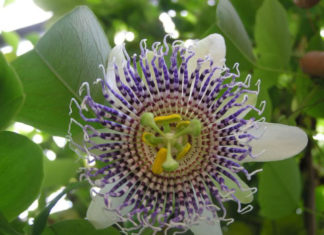 Passiflora actinia (Sea Anemone Passion Flower)