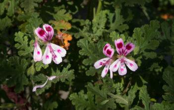 Pelargonium quercifolium - Oak-leaved Geranium