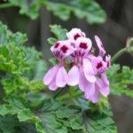 Pelargonium quercifolium (Oak-leaved Geranium)