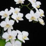 Phalaenopsis aphrodite