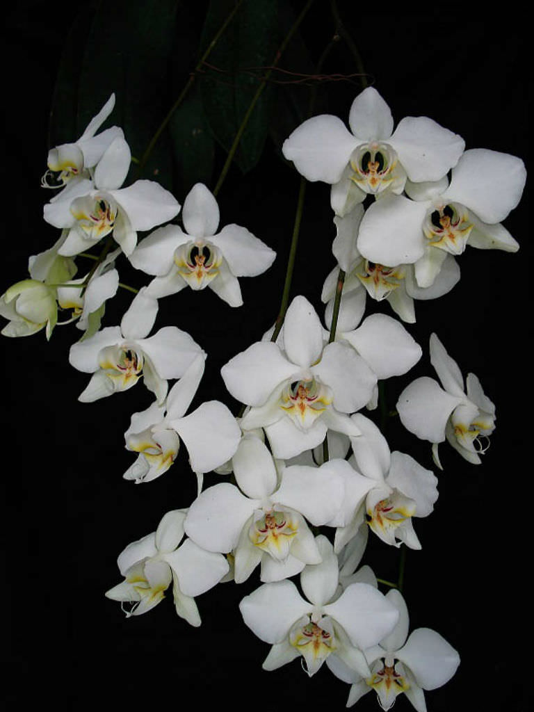 Phalaenopsis Aphrodite World Of Flowering Plants