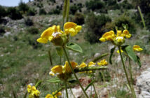 Phlomis chrysophylla - Golden-leaved Jerusalem Sage
