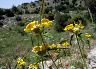Phlomis chrysophylla (Golden-leaved Jerusalem Sage)