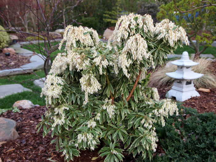 Pieris japonica 'Variegata' - Variegated Japanese Pieris