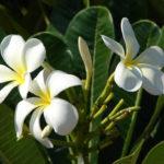 Plumeria alba (White Frangipani)