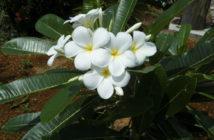 Plumeria alba - White Frangipani