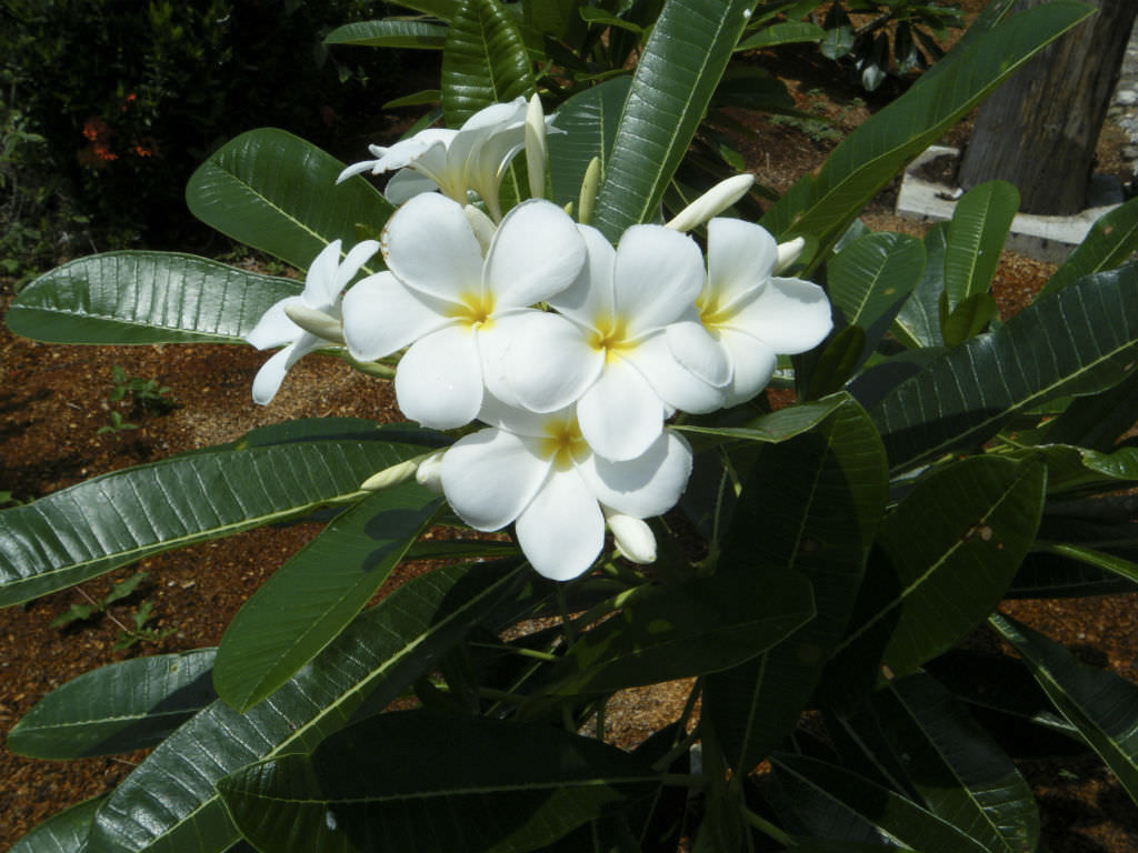 Plumeria Alba White Frangipani World Of Flowering Plants
