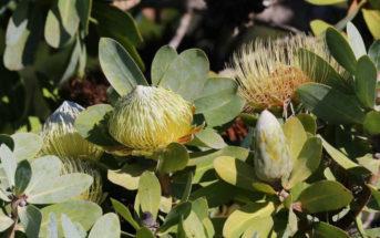 Protea nitida - Wagon Tree