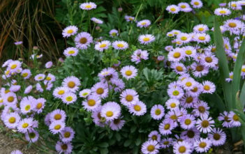 Care Seaside Daisy (Erigeron glaucus)