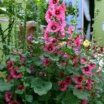 Alcea rosea - Hollyhock
