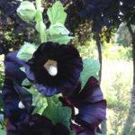 Alcea rosea 'Nigra' - Black Hollyhock