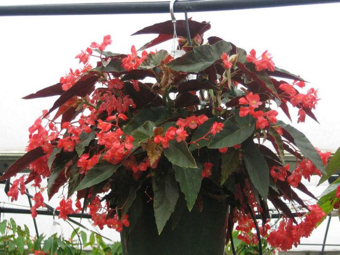 Begonia coccinea - Scarlet Begonia