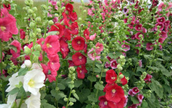 Care Hollyhocks