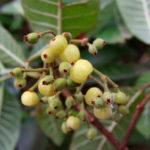 Psychotria loniceroides - Hairy Psychotria