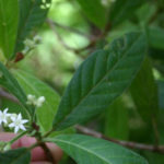 Psychotria loniceroides - Hairy Psychotria