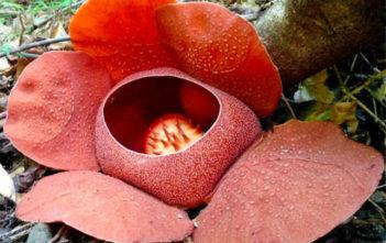 Rafflesia speciosa