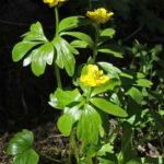 Ranunculus eschscholtzii - Eschscholtz's Buttercup