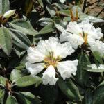 Rhododendron bureavii - Bureau Rhododendron