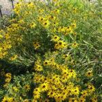Rudbeckia fulgida var. sullivantii - Sullivant's Coneflower