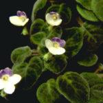 Saintpaulia goetzeana - African Violet