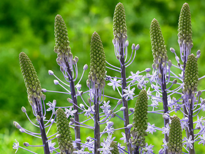 Scilla hyacinthoides - Hyacinth Squill