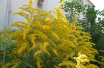 Solidago altissima - Tall Goldenrod