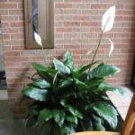 Spathiphyllum floribundum - Snowflower