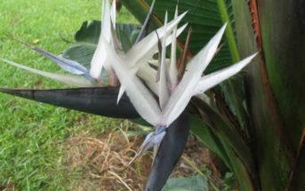 Strelitzia caudata - Mountain Strelitzia