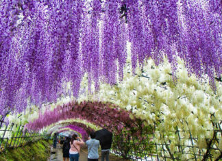 Surreal Wisteria Flower Tunnel