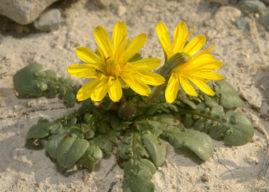Taraxacum aphrogenes – Paphos Dandelion