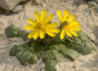 Taraxacum aphrogenes - Paphos Dandelion