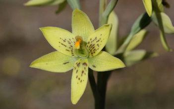 Thelymitra villosa - Custard Orchid